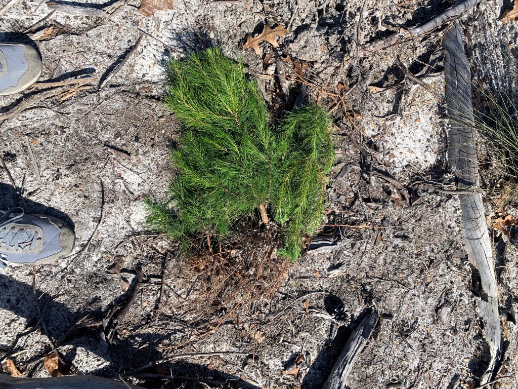 Marquis-Community-Outreach-Longleaf-pulled-sandpines